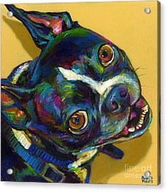 Boston Terrier Acrylic Print by Robert Phelps