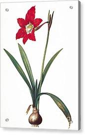 Botany: Lily Acrylic Print by Granger