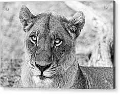 Botswana  Lioness In Black And White Acrylic Print