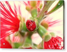 Bottle Brush Bloom Acrylic Print by Kerry Reed