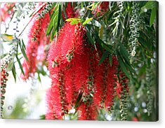 Bottle Brush Acrylic Print by Evelyn Patrick