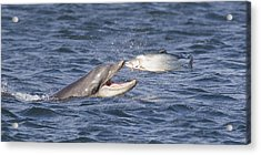 Bottlenose Dolphin Eating Salmon - Scotland  #36 Acrylic Print