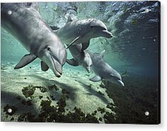 Acrylic Print featuring the photograph Four Bottlenose Dolphins Hawaii by Flip Nicklin