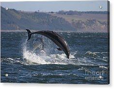 Bottlenose Dolphins - Scotland  #25 Acrylic Print