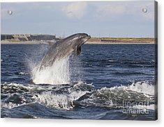 Bottlenose Dolphin - Scotland  #26 Acrylic Print