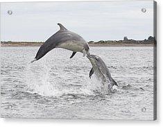 Bottlenose Dolphins - Scotland #1 Acrylic Print