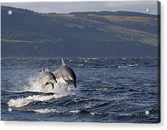 Bottlenose Dolphins Leaping - Scotland  #37 Acrylic Print