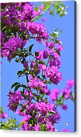 Bougainvillea And Sky Acrylic Print