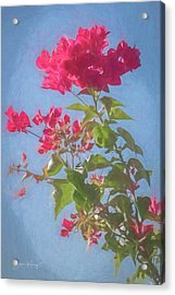 Bougainvillea Morning Acrylic Print