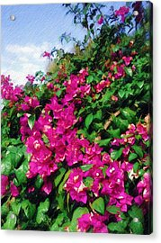 Acrylic Print featuring the photograph Bougainvillea by Sandy MacGowan