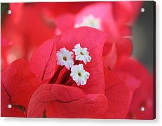 Acrylic Print featuring the photograph Bougainvilleas And White by Edward R Wisell