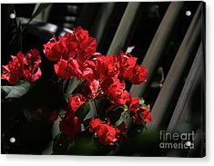Acrylic Print featuring the photograph Bougainvilleas by Edward R Wisell