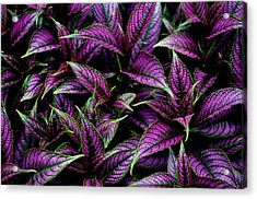 Bouquet Of Persian Shield Acrylic Print