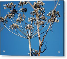 Bouquets Of Seeds Acrylic Print by Jean Booth