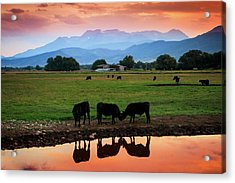 Bovine Sunset Acrylic Print by Johnny Adolphson