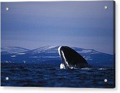 Bowhead Whale Balaena Mysticetus Acrylic Print by Nick Norman