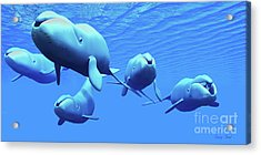 Bowhead Whale Pod Acrylic Print by Corey Ford