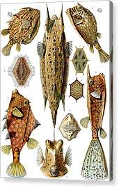 Box Fishes Acrylic Print by German School