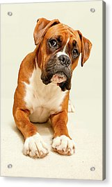 Boxer Dog On Ivory Backdrop Acrylic Print by Danny Beattie Photography