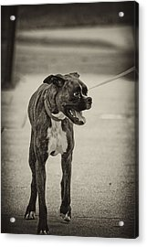 Boxer Acrylic Print by Off The Beaten Path Photography - Andrew Alexander