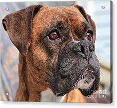 Acrylic Print featuring the photograph Boxer Portrait by Debbie Stahre