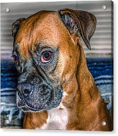 Boxer Portrait Acrylic Print by Rob Sellers