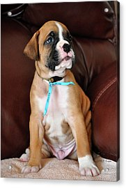 Acrylic Print featuring the photograph Boxer Pride by John Knapko