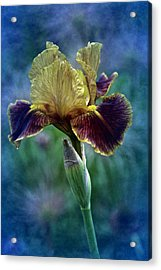 Vintage Boy Wonder Iris Acrylic Print by Richard Cummings