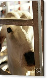 Acrylic Print featuring the photograph Brahma Love - 2 by Linda Shafer