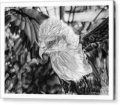 Brahminy Kite Acrylic Print
