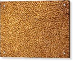Brain Coral 47 Acrylic Print by Michael Fryd