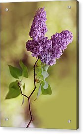 Branch Of Fresh Violet Lilac Acrylic Print