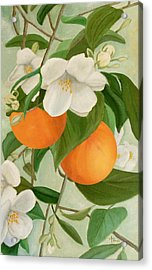 Branch Of Orange Tree In Bloom Acrylic Print