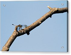 Branching Out Acrylic Print by Karol Livote