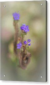 Acrylic Print featuring the photograph Branching Phacelia by Alexander Kunz
