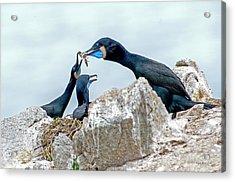 Brandt's Cormorant Feeding Family Acrylic Print
