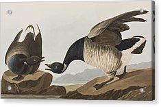 Brant Goose Acrylic Print by John James Audubon
