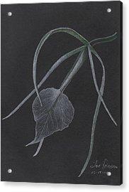 Brassalove Nordosa Orchid Acrylic Print