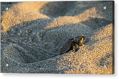 Brave Beginnings Sea Turtle Hatchling Delray Beach Florida Acrylic Print