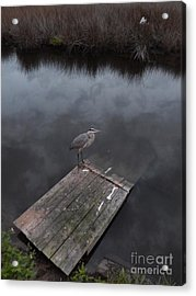 Brave Heron Acrylic Print