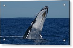 Acrylic Print featuring the photograph Breaching Humpback Whale by Gary Crockett