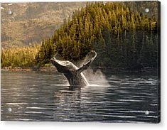Breaching Humpback Whale In Prince Acrylic Print by Daryl Pederson