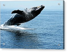 Breaching Humpback Whales Happy-2 Acrylic Print