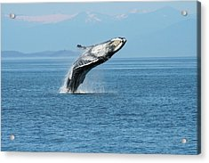 Breaching Humpback Whales Happy-3 Acrylic Print