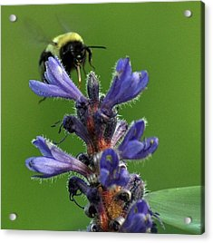 Acrylic Print featuring the photograph Bumble Bee Breakfast by Glenn Gordon