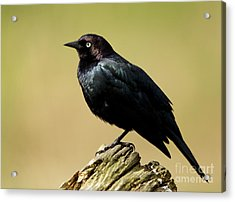 Brewers Blackbird Resting On Log Acrylic Print