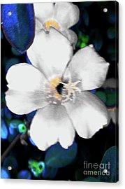 Bright Blue Accents White Vinca Acrylic Print