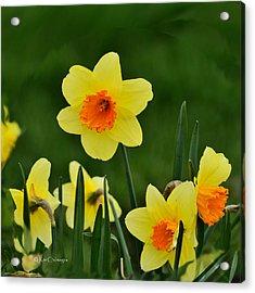 Bright Daffodils Acrylic Print by Kae Cheatham