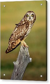 Bright-eyed Owl Acrylic Print