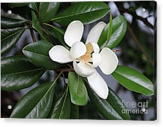 Bright Magnolia With Leaves Acrylic Print